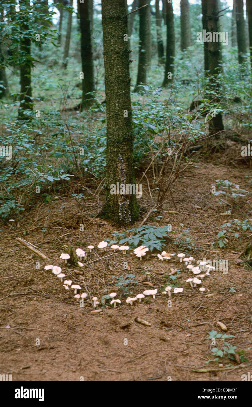 fairy ring on a conifer forest ground, Germany - Stock Image