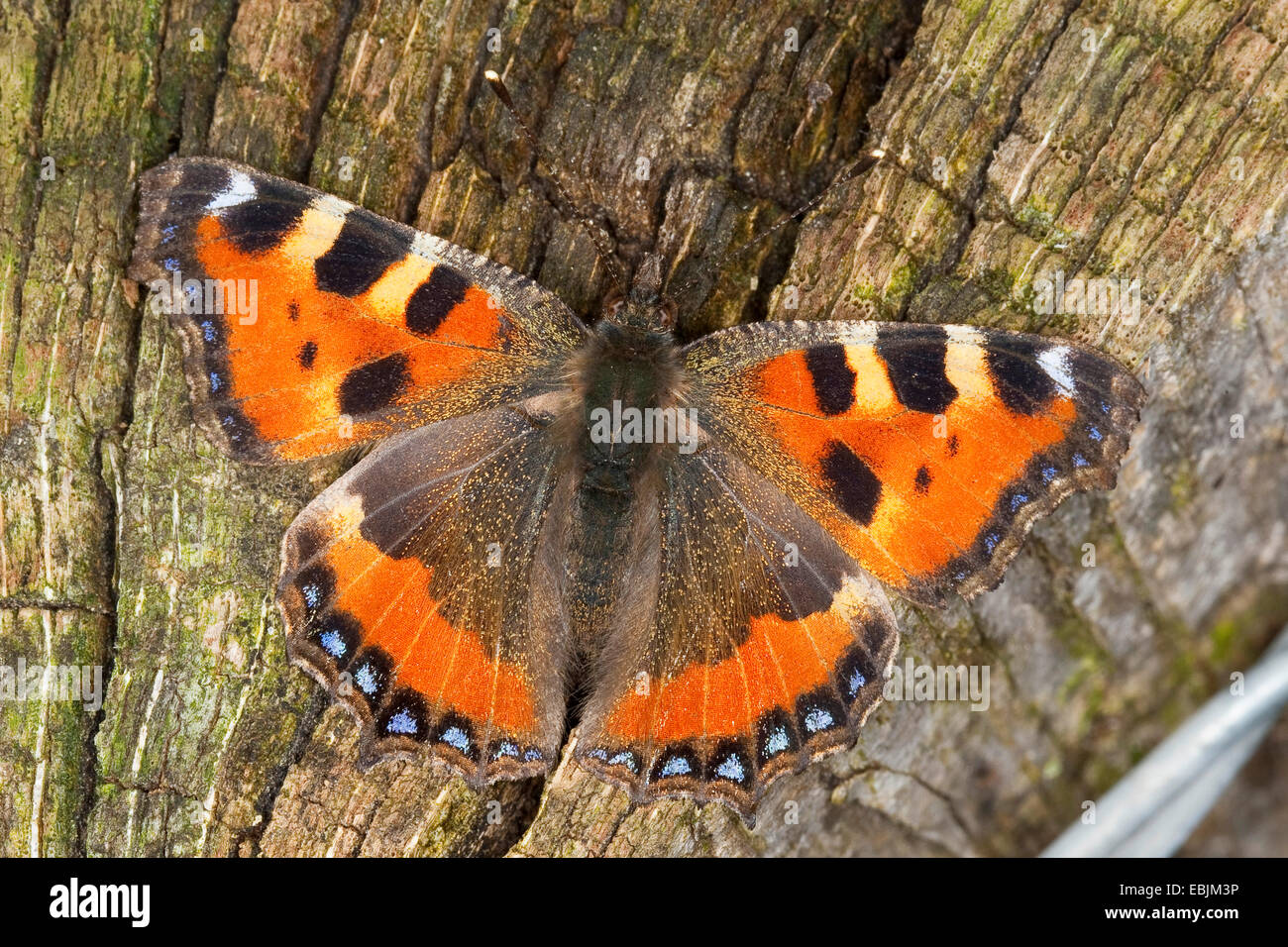 small tortoiseshell (Aglais urticae), sitting on deadwood, Germany - Stock Image