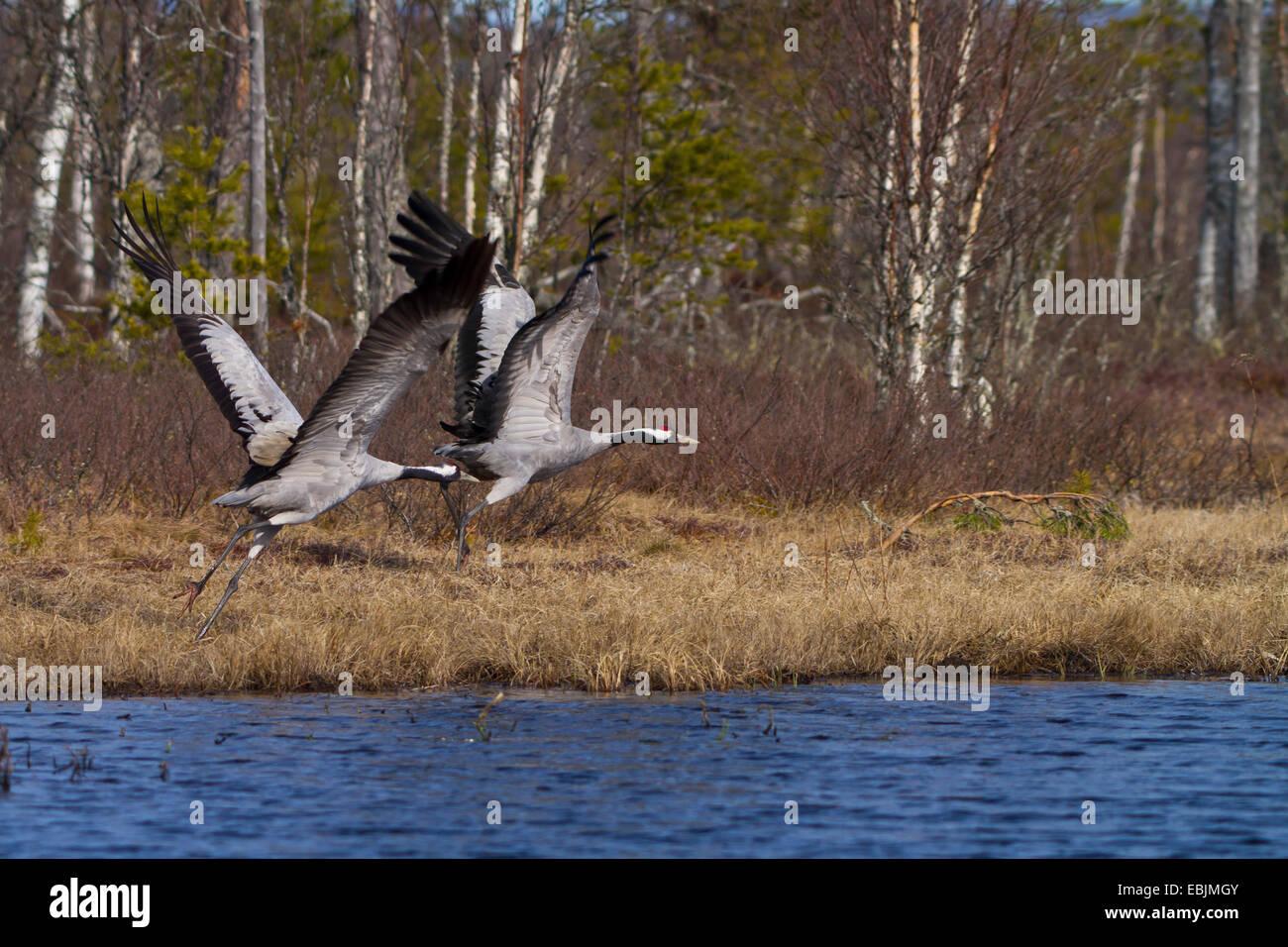 Common crane, Eurasian Crane (Grus grus), taking off couple at a lake, Sweden, Hamra National Park Stock Photo