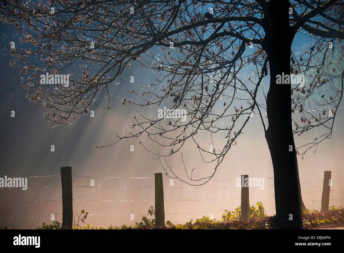 fog and silhouette of a tree waysides, Germany, North Rhine-Westphalia, Baumberge - Stock Image