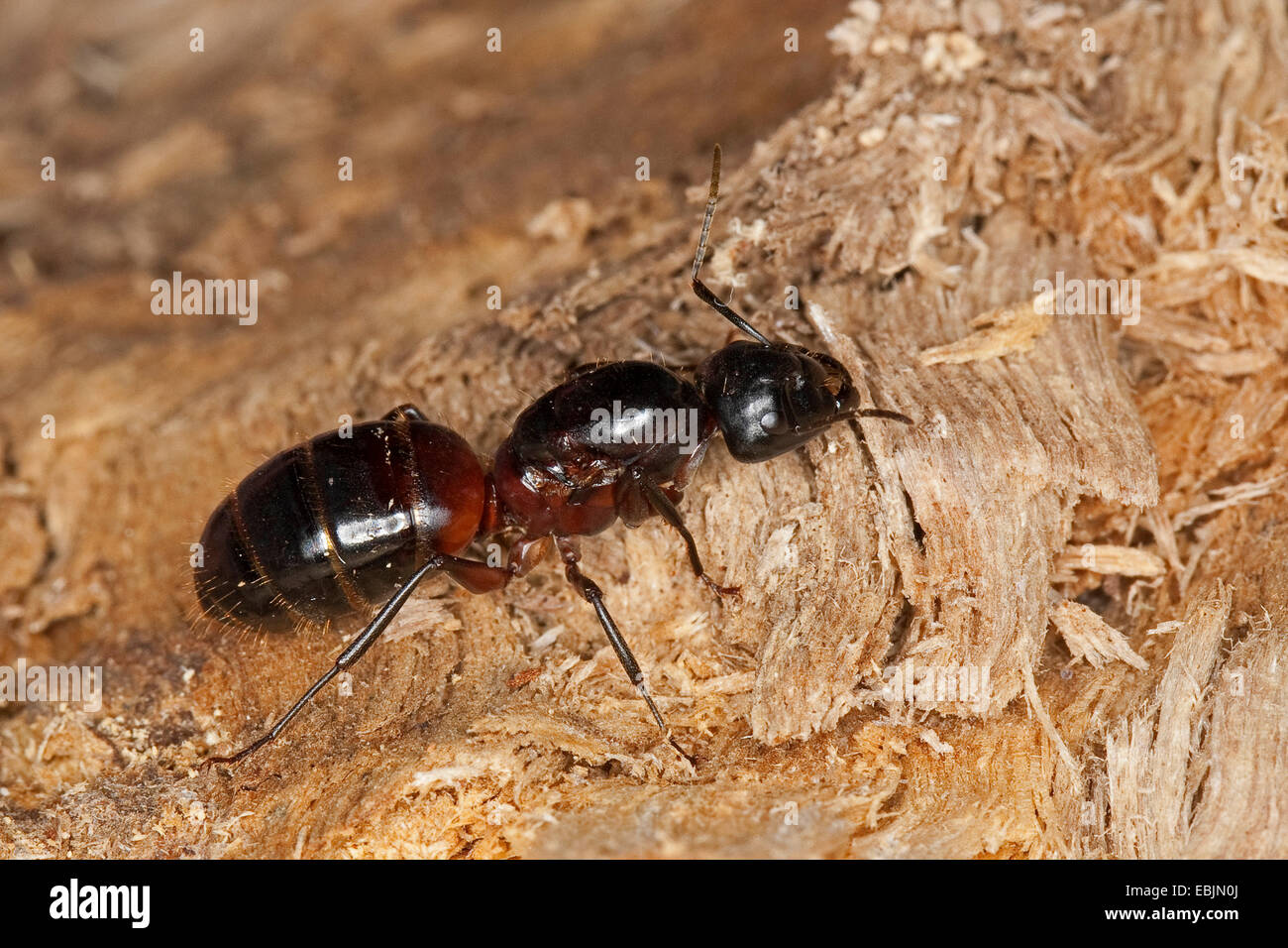how to buy a queen ant
