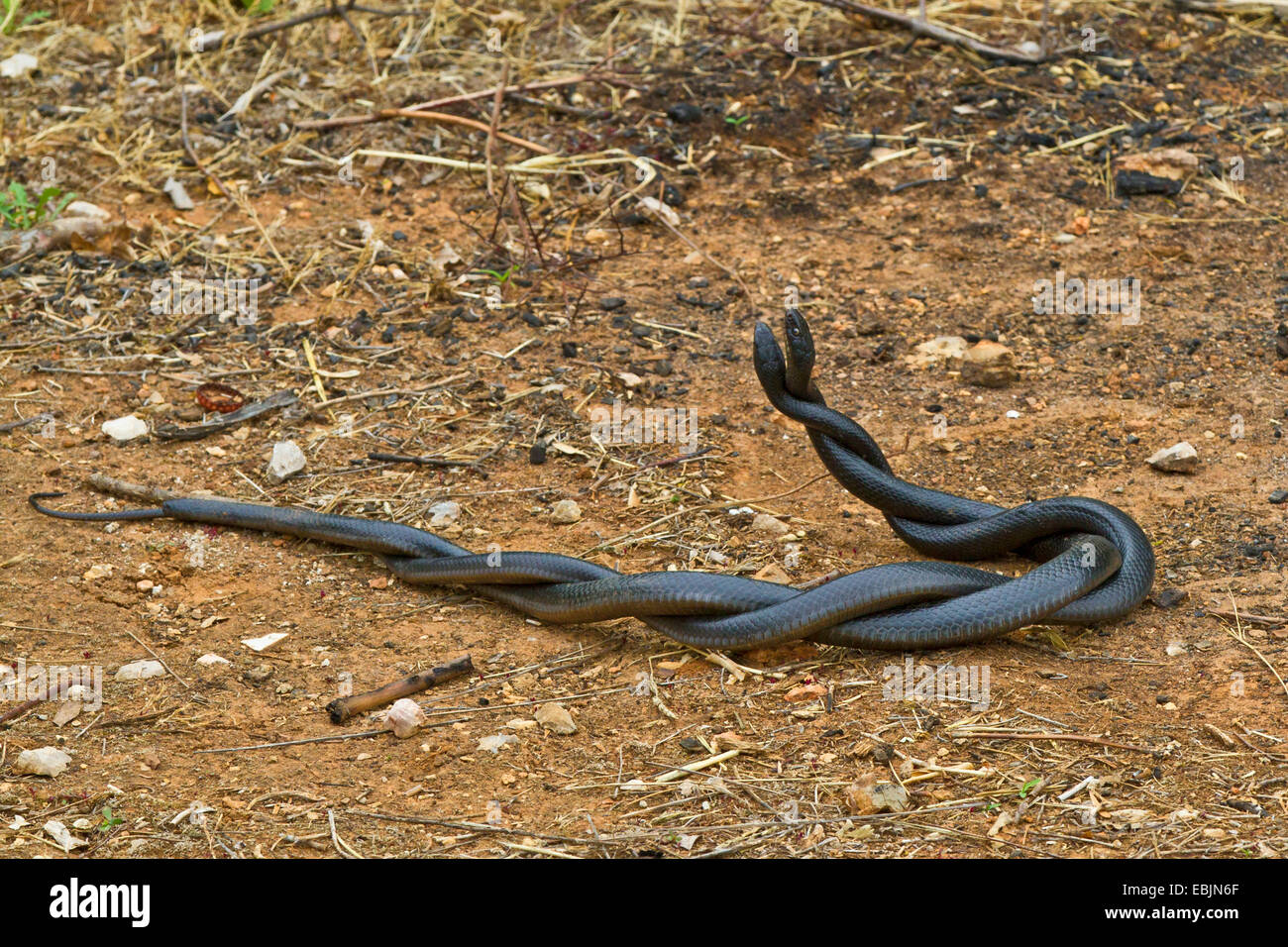 European whip snake, western European whip snake, dark-green whipsnake (Coluber viridiflavus, Hierophis viridiflavus - Stock Image