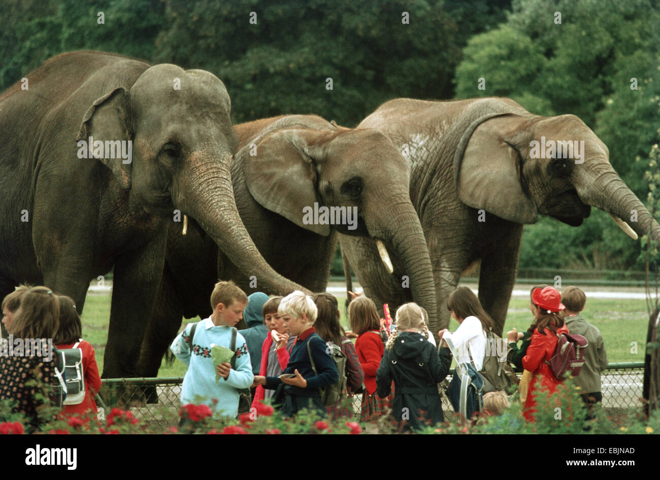 Asiatic elephant, Asian elephant (Elephas maximus), school class at the zoo in front of an open-air enclosure with - Stock Image
