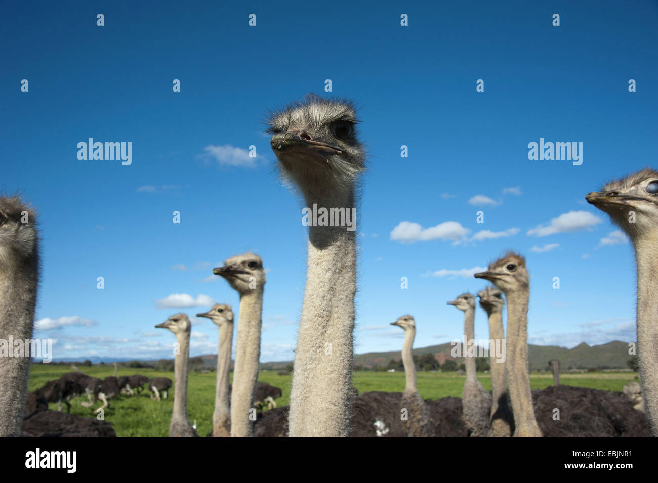 ostrich (Struthio camelus), flock of ostriches, South Africa, Western Cape, Oudtshoorn - Stock Image