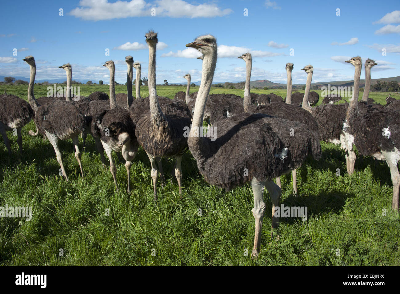 ostrich (Struthio camelus), flock of ostriches standing in meadow, South Africa, Western Cape, Oudtshoorn - Stock Image