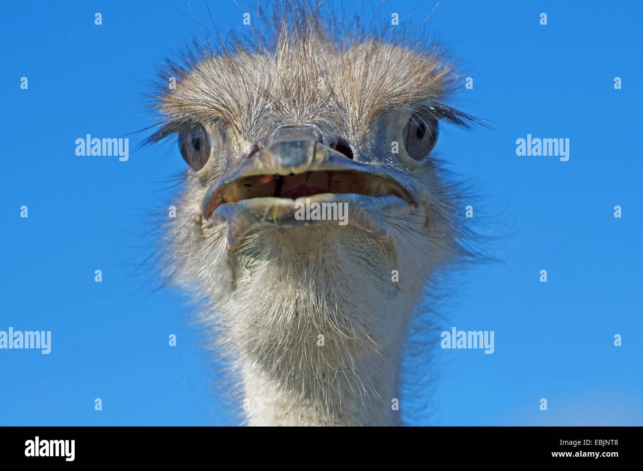ostrich (Struthio camelus), with open beak, South Africa, Western Cape - Stock Image