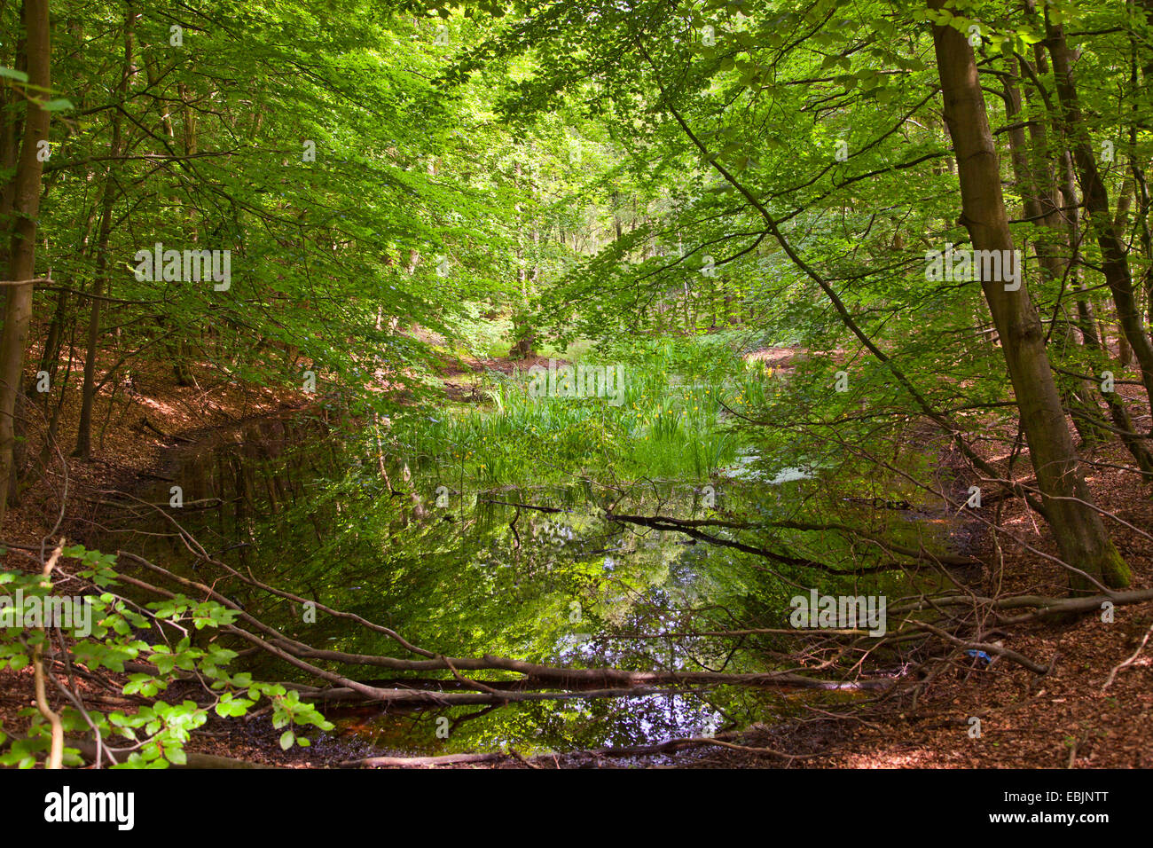 pond in a swamp forest, Germany, Mecklenburg-Western Pomerania - Stock Image