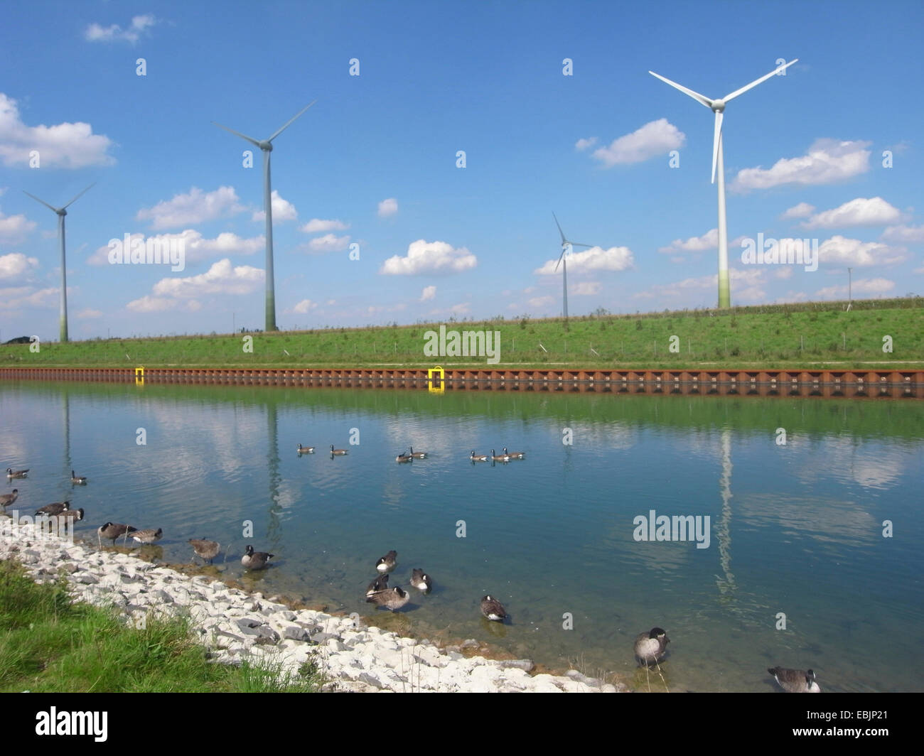 Canada goose (Branta canadensis), at Dortmund-Ems Canal with wind turbines, Germany, North Rhine-Westphalia, Ruhr - Stock Image