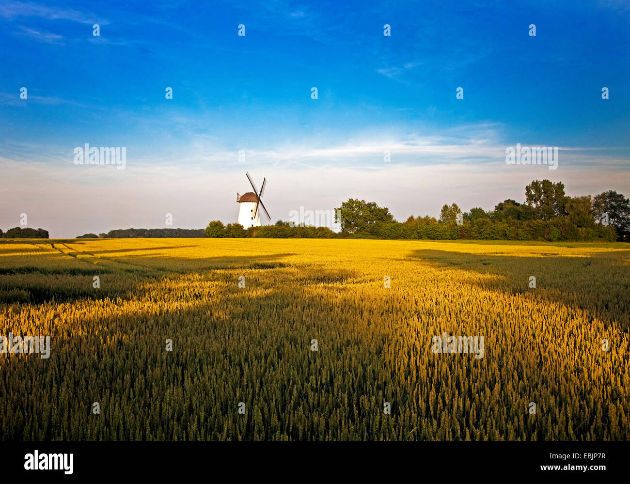wind mill of Schmerlecke with wheat field in evening light, Germany, North Rhine-Westphalia, Erwitte - Stock Image