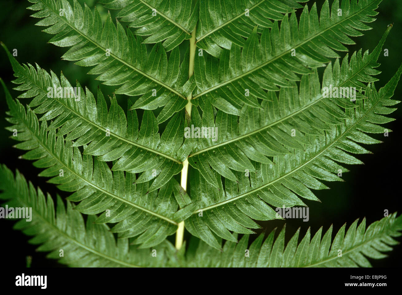 Rooting Chainfern (Woodwardia radicans), leaflets - Stock Image