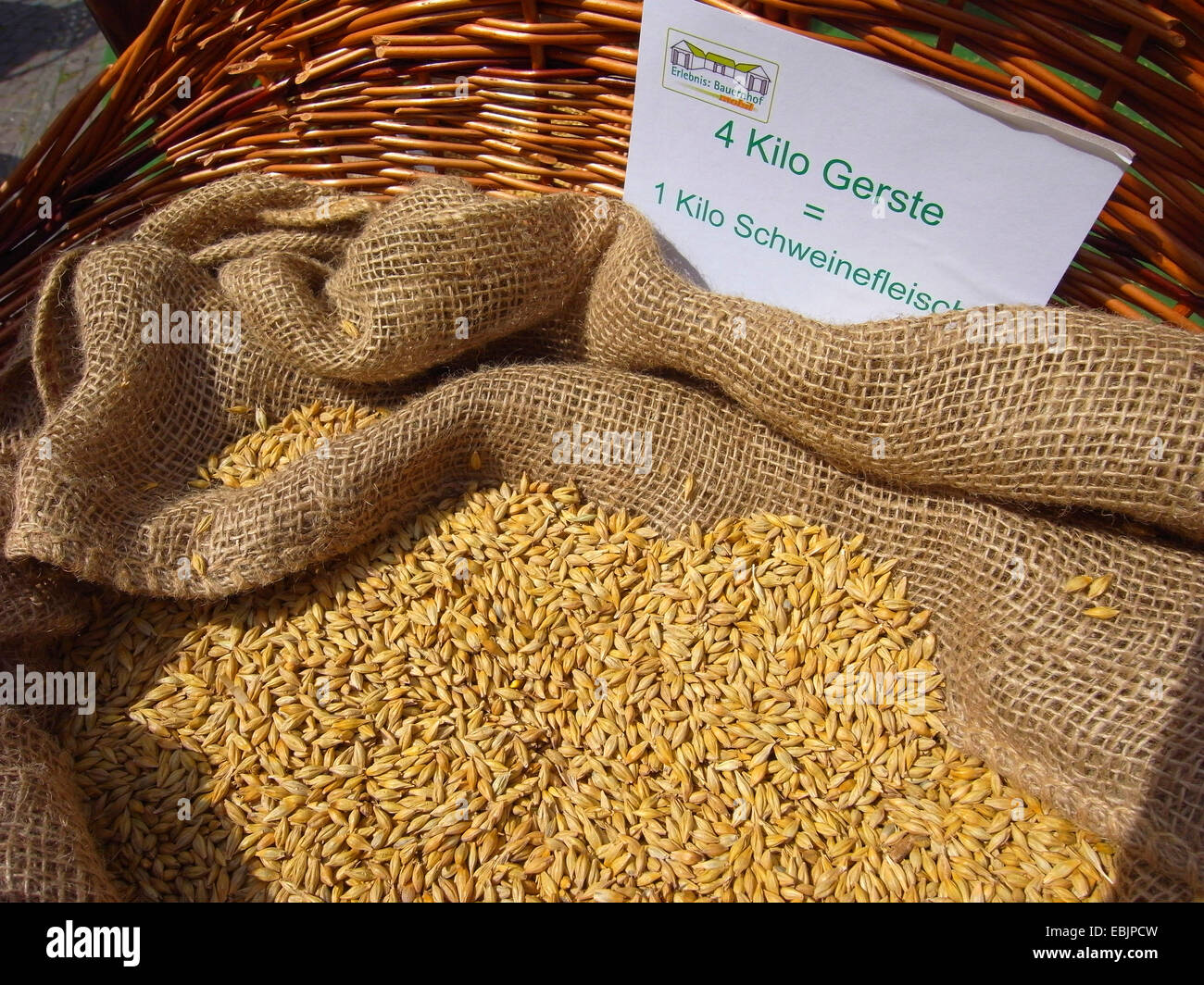 visualization of the energy requirement for meat production: 4 kg barley in a basket - the amount needed for 1 kg - Stock Image