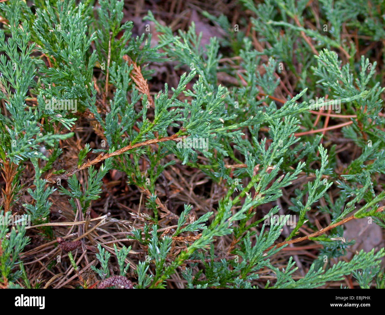 Blue rug juniper, Creeping juniper, Creeping cedar (Juniperus horizontalis), branches of wild form - Stock Image