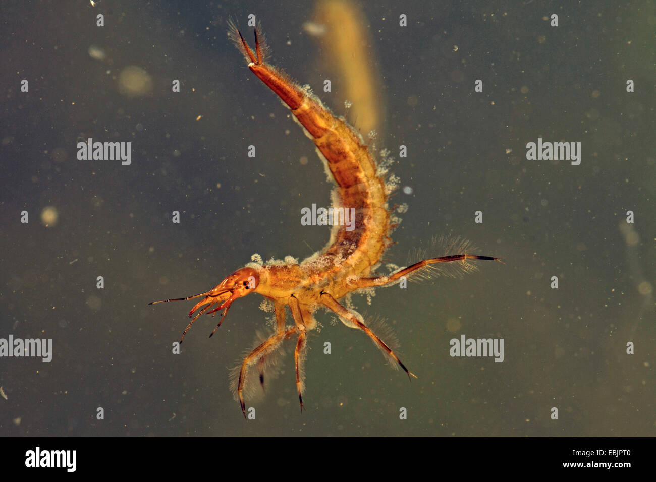 great diving beetle (Dytiscus marginalis), larva, settled by ciliata, Germany Stock Photo