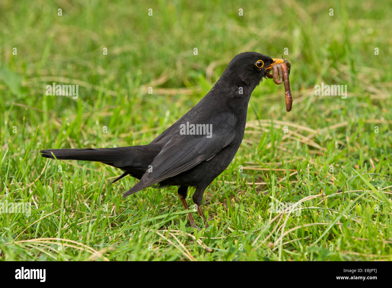 blackbird (Turdus merula), male witjh worms in the beak, Germany, Bavaria - Stock Image