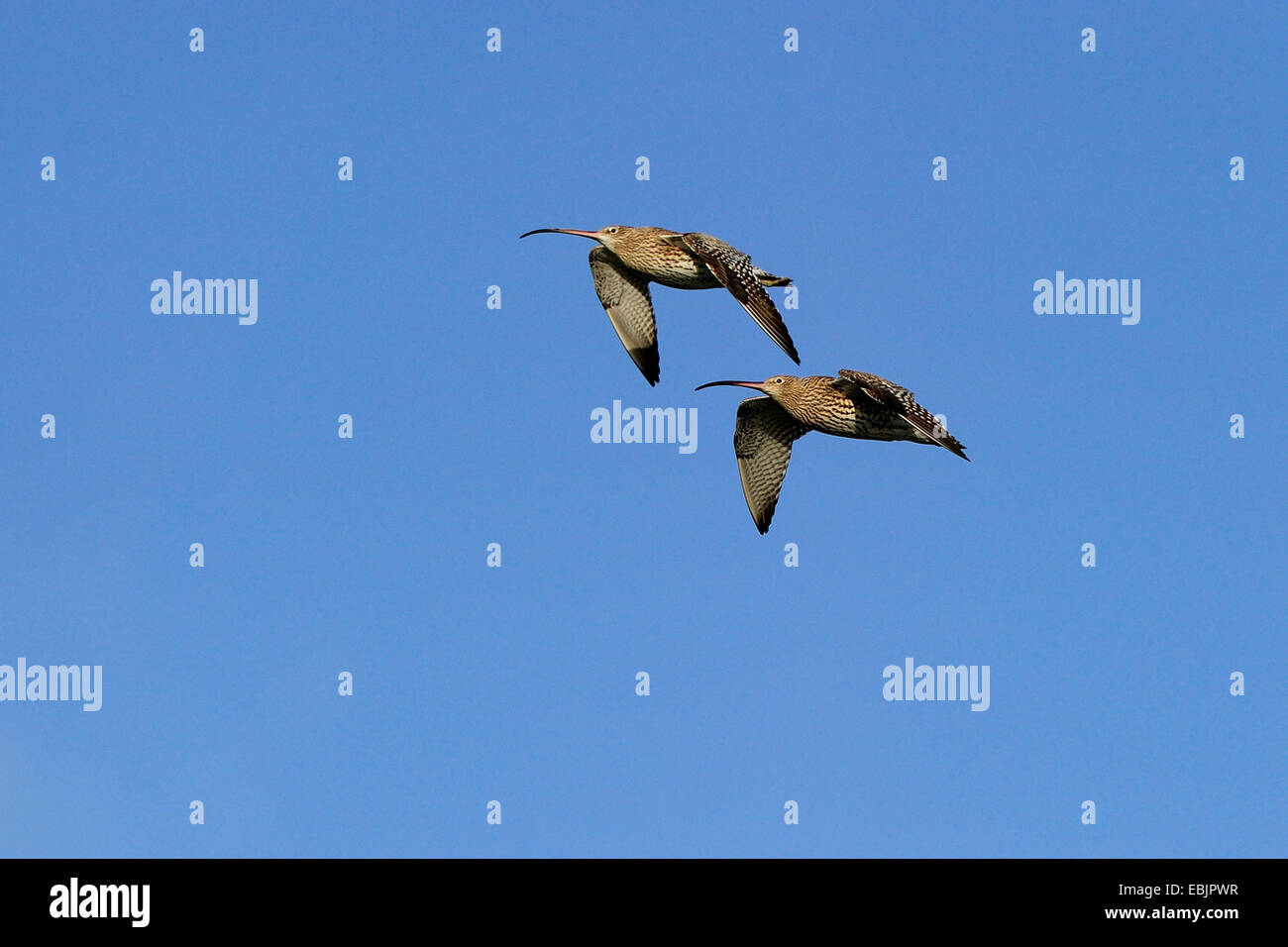 western curlew (Numenius arquata), two birds flying, Germany, North Rhine-Westphalia - Stock Image