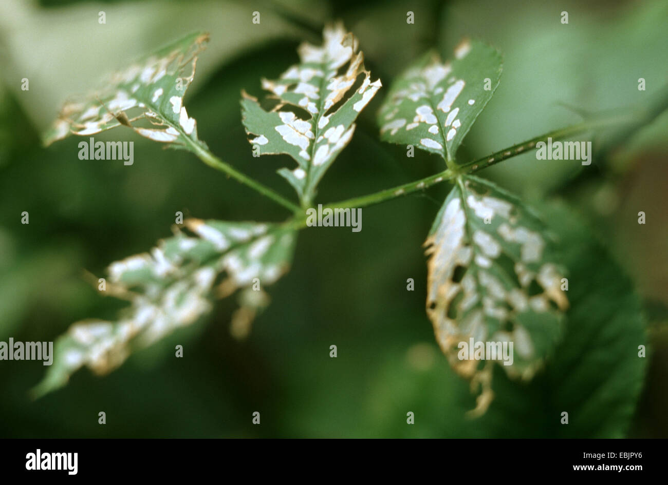 rose sawfly (Caliroa aethiops), mines of a larvae in leaves, Germany - Stock Image