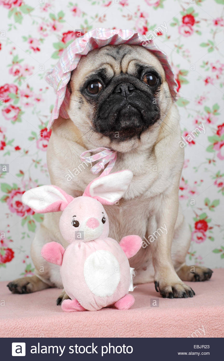 Pug (Canis lupus f. familiaris), cute pug wearing a pink baby-hat - Stock Image