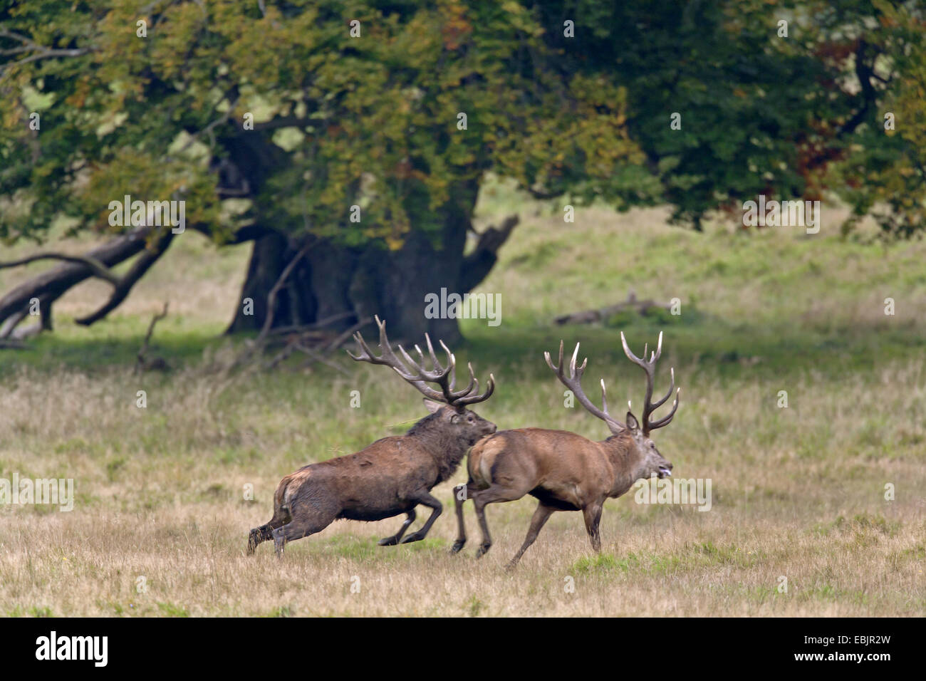 red deer (Cervus elaphus), stag repulse a rival from the rutting ground, Denmark, Seeland - Stock Image