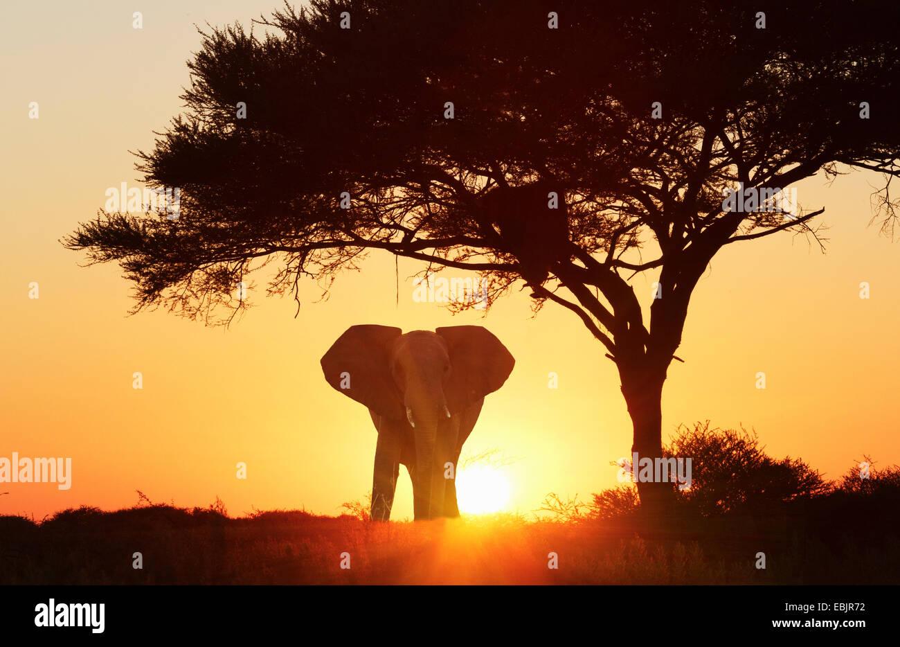 Silhouetted african elephant at sunset, Etosha National Park, Namibia - Stock Image