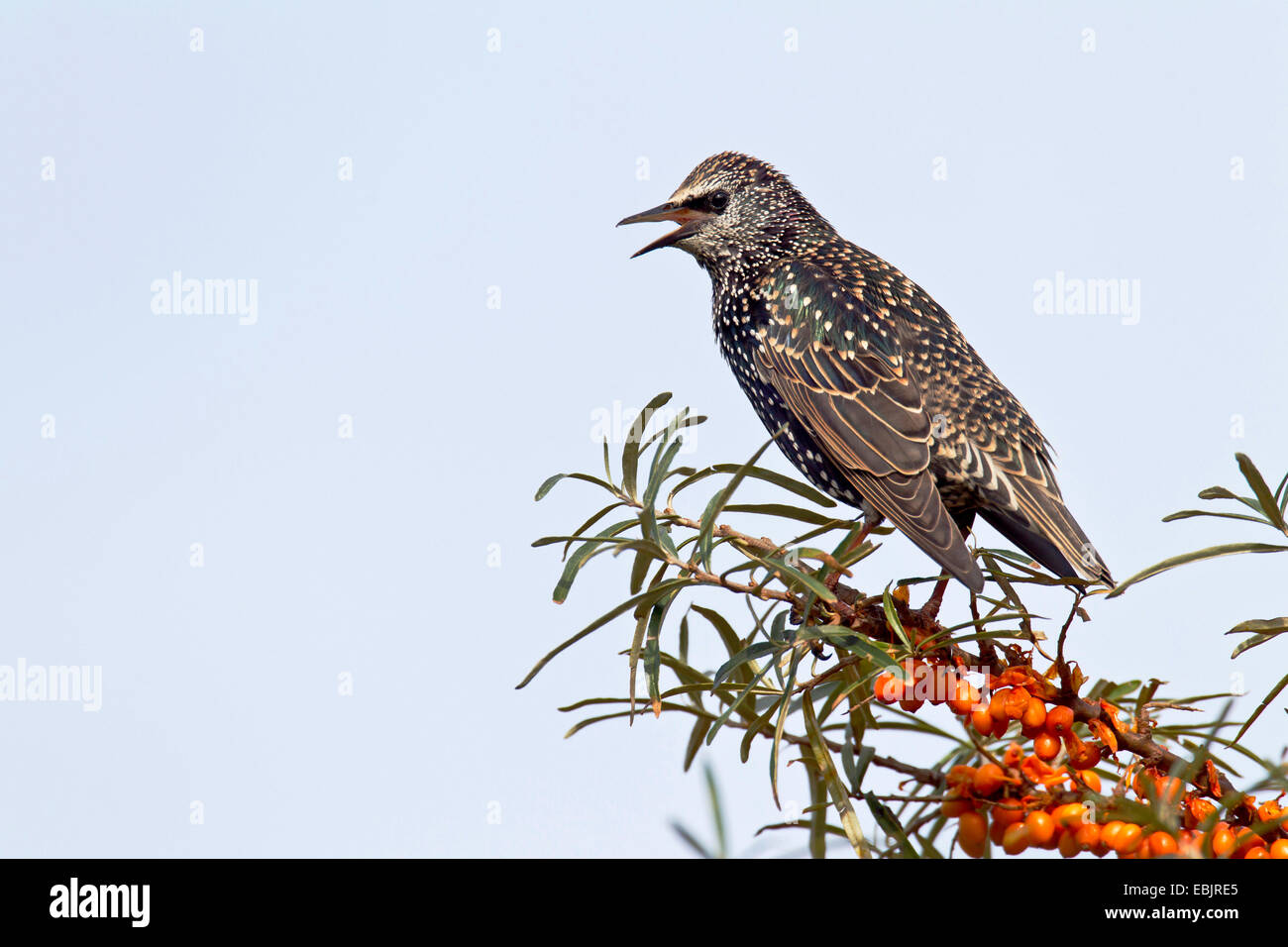 common starling (Sturnus vulgaris), sitting in a common seabuckthorn bush singing, Germany, Schleswig-Holstein, Stock Photo