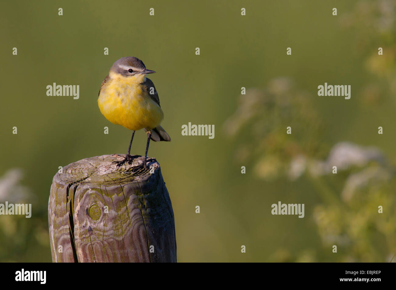yellow wagtail (Motacilla flava), sitting on a wooden post, Netherlands, Texel - Stock Image