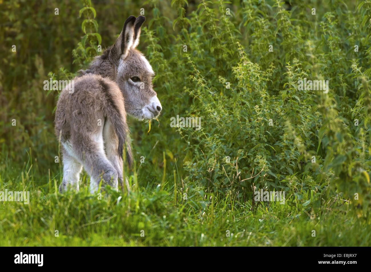 domestic donkey (Equus asinus f. asinus), donkey foal grazing near nettles, Germany, North Rhine-Westphalia Stock Photo
