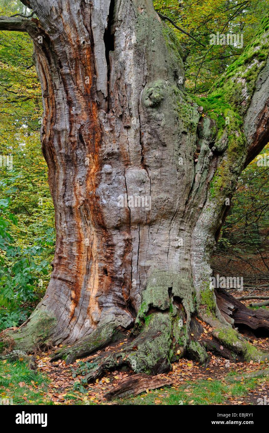 dead tree in Urwald Sababurg, Germany, Hesse - Stock Image