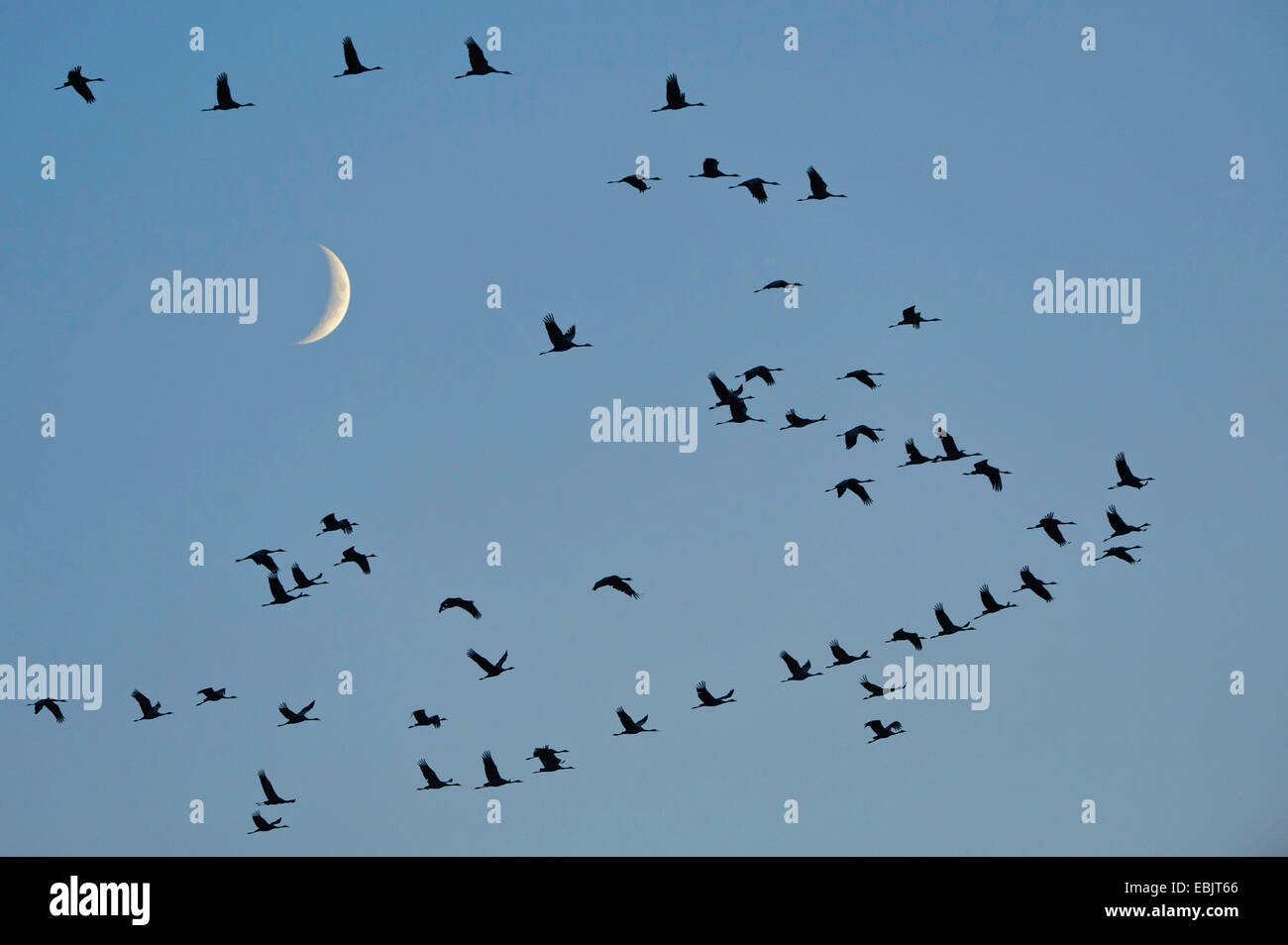 Common crane, Eurasian Crane (Grus grus), bird migration in front of the moon, Germany, Lower Saxony Stock Photo