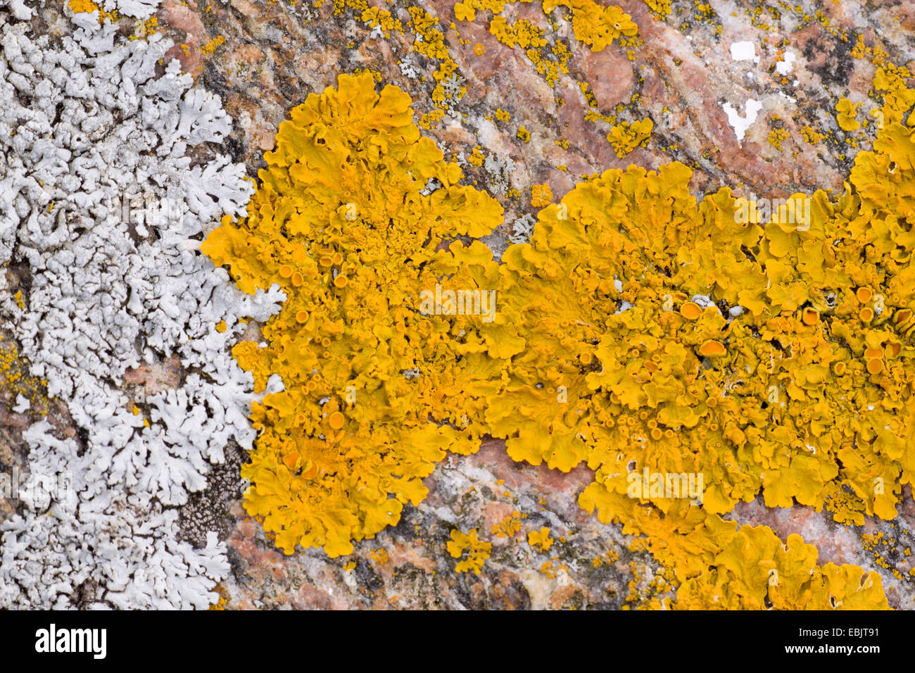 Common orange lichen, Yellow scale, Maritime sunburst lichen, Shore lichen, Golden shield lichen (Xanthoria parietina, - Stock Image