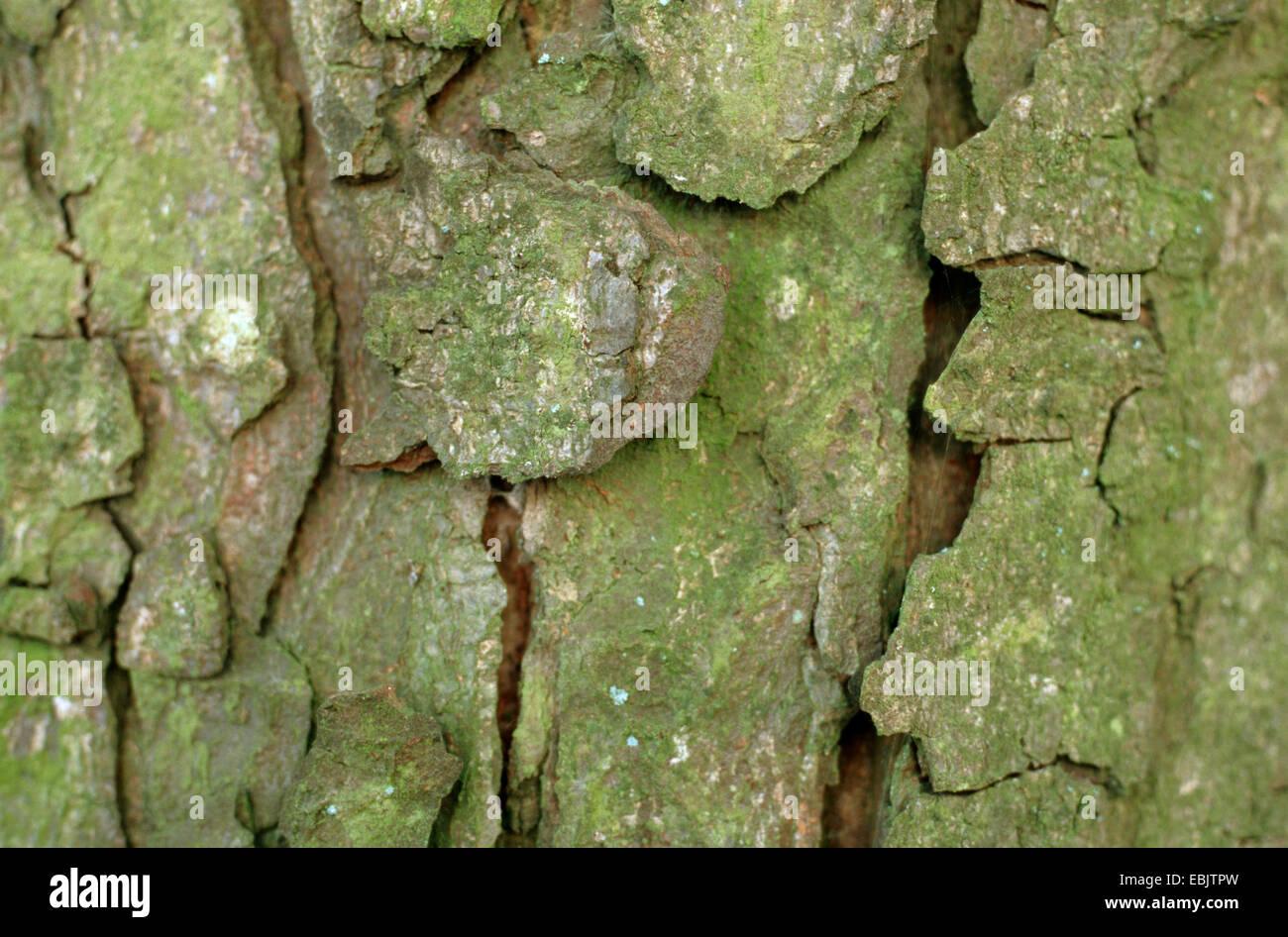 common horse chestnut (Aesculus hippocastanum), bark - Stock Image