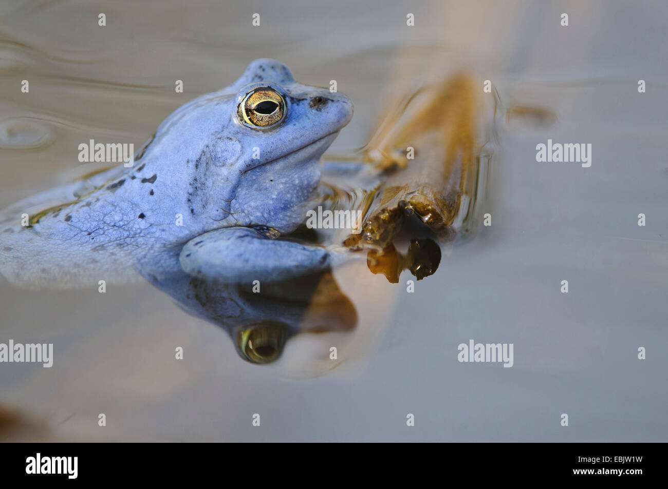 moor frog (Rana arvalis), male in mating colouration sitting at the surface of a pond - Stock Image