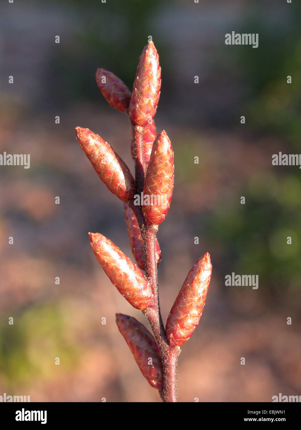 bog myrtle, sweet gale, sweet bayberry (Myrica gale), male buds, Germany - Stock Image