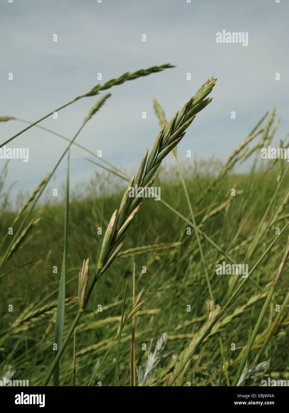 Sea couch grass (Elymus athericus, Agropyron pungens), spikes, Germany, Lower Saxony, Baltrum - Stock Image