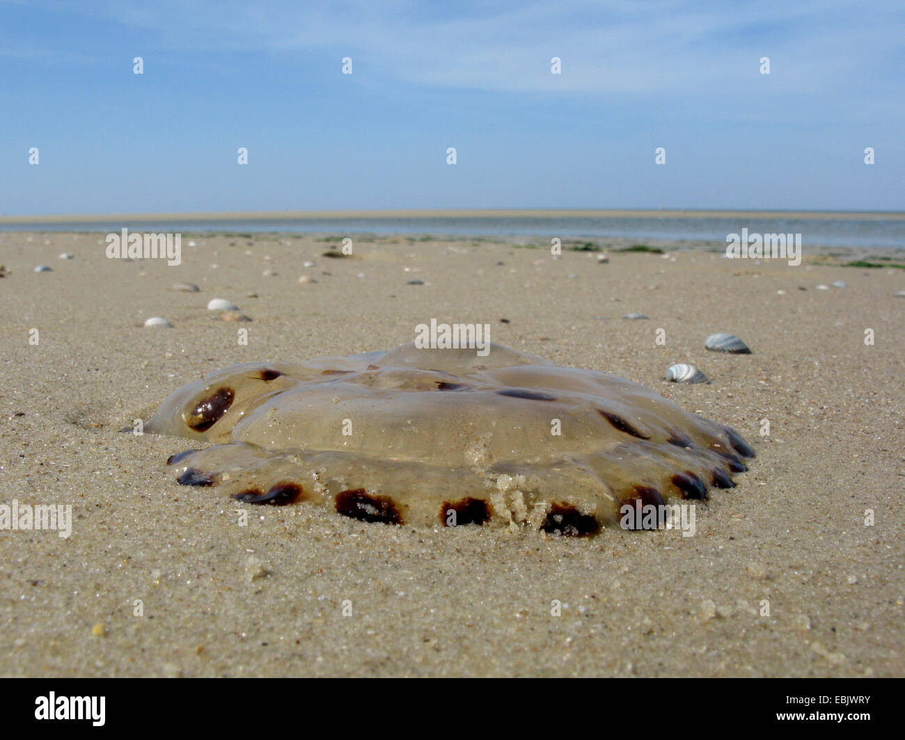 compass jellyfish, red-banded jellyfish (Chrysaora hysoscella), washed up on the beach, Germany, Lower Saxony, Baltrum Stock Photo