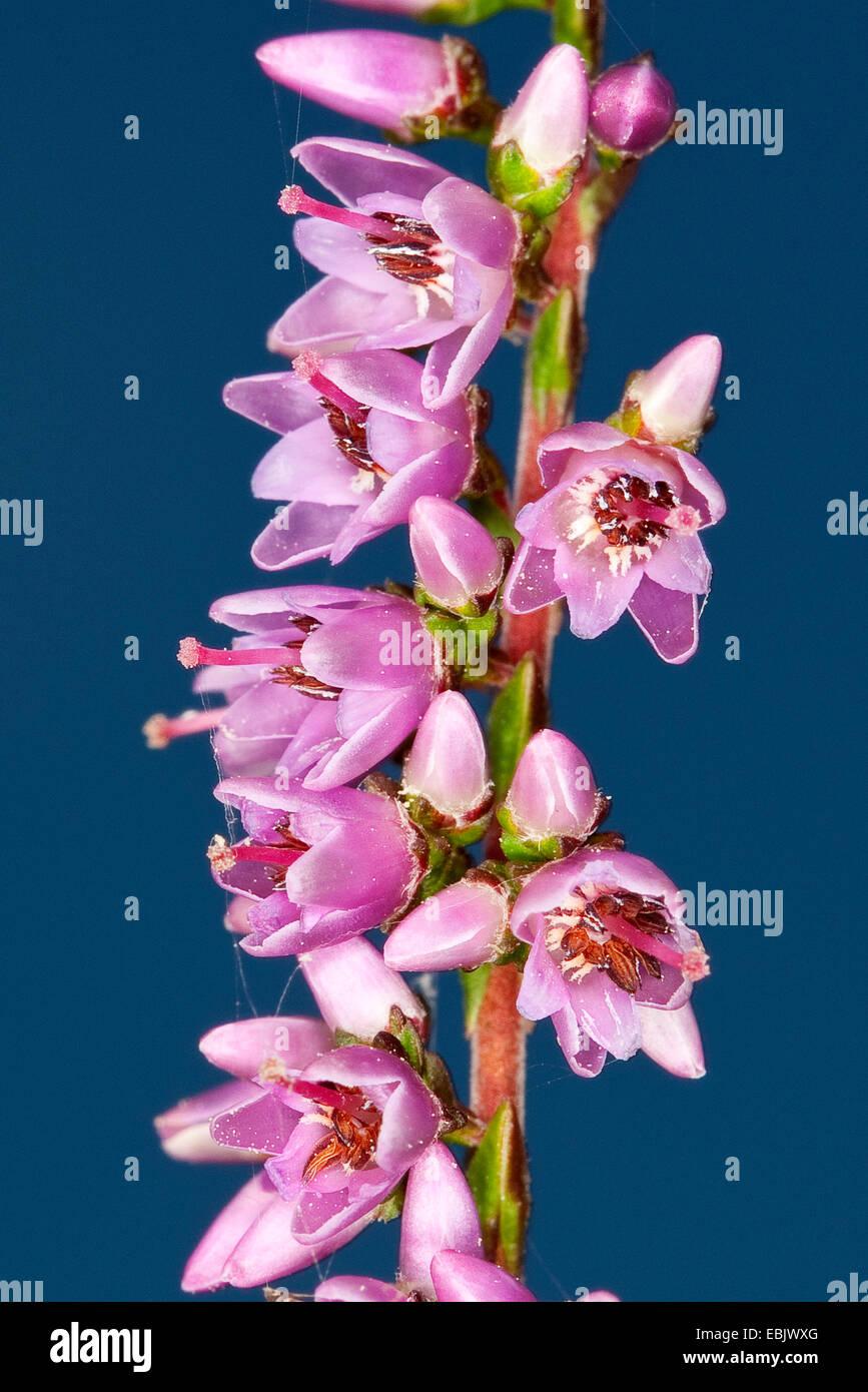 heather, ling (Calluna vulgaris), blooming twig, Germany - Stock Image