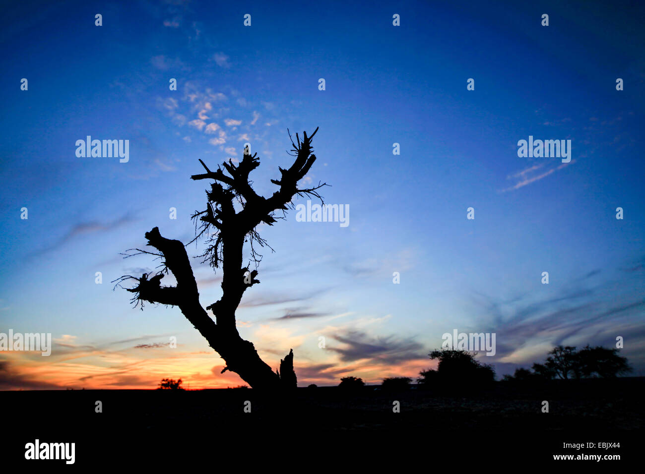 Dry parched tree in a desert landscape at sunset - Stock Image