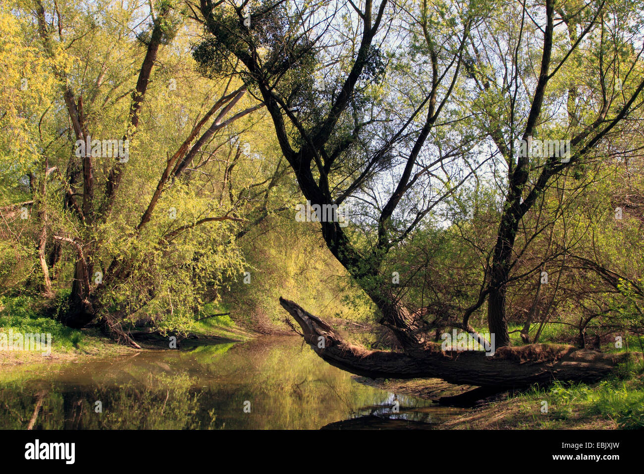floodplain forest in spring, Germany - Stock Image