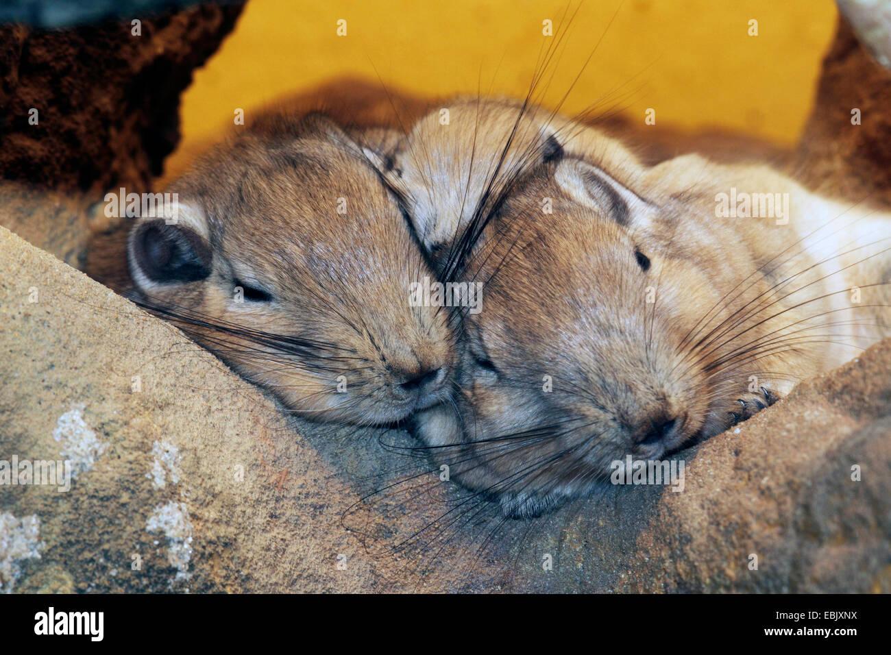 gundi (Ctenodactylus gundi), two gundis sleeping on a rock - Stock Image