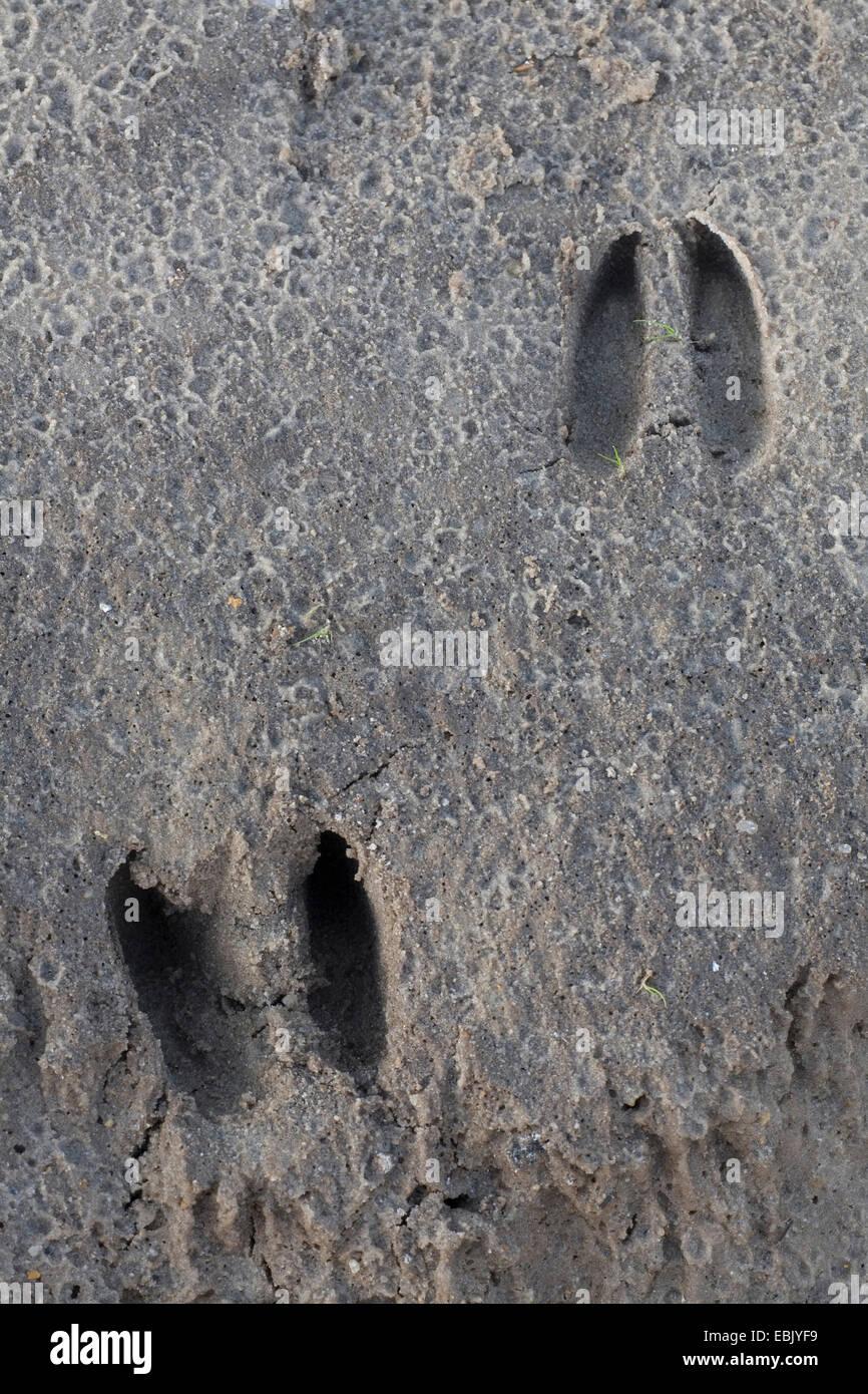 roe deer (Capreolus capreolus), track in rain-wet sand, Denmark Stock Photo