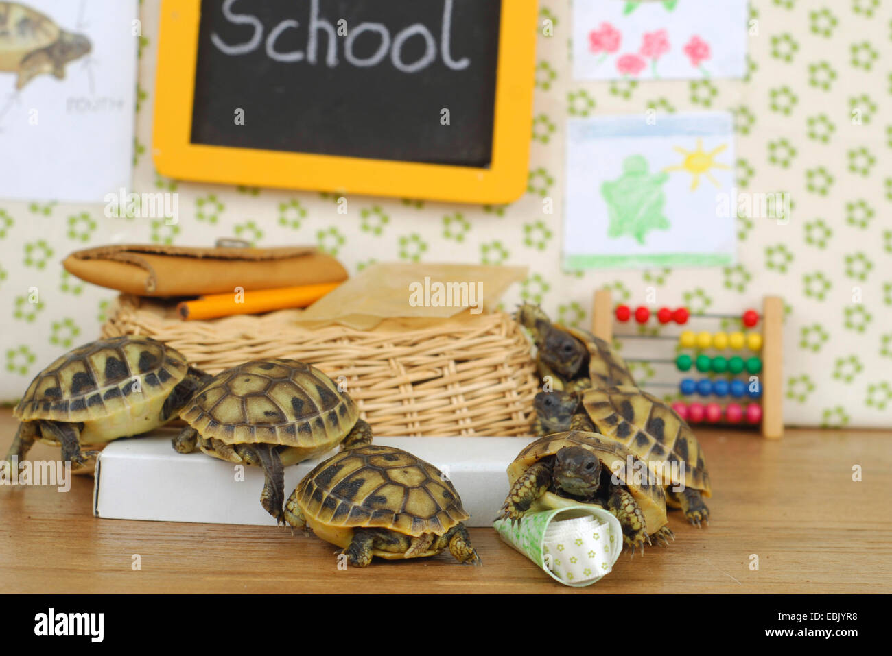 Hermann's tortoise, Greek tortoise (Testudo hermanni), little tortoises are in their classroom Stock Photo
