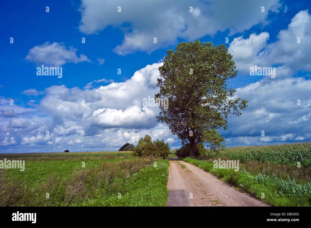 aspen, poplar (Populus spec.), waysides in summerly field landscape, Germany, Borgfeld, Bremen - Stock Image