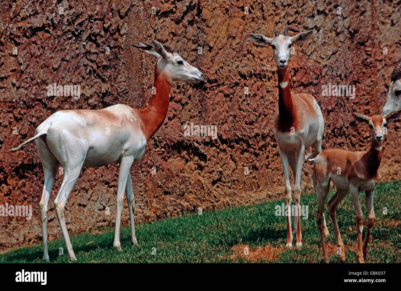 Addra gazelle (Gazella dama), in the zoo with pub - Stock Image