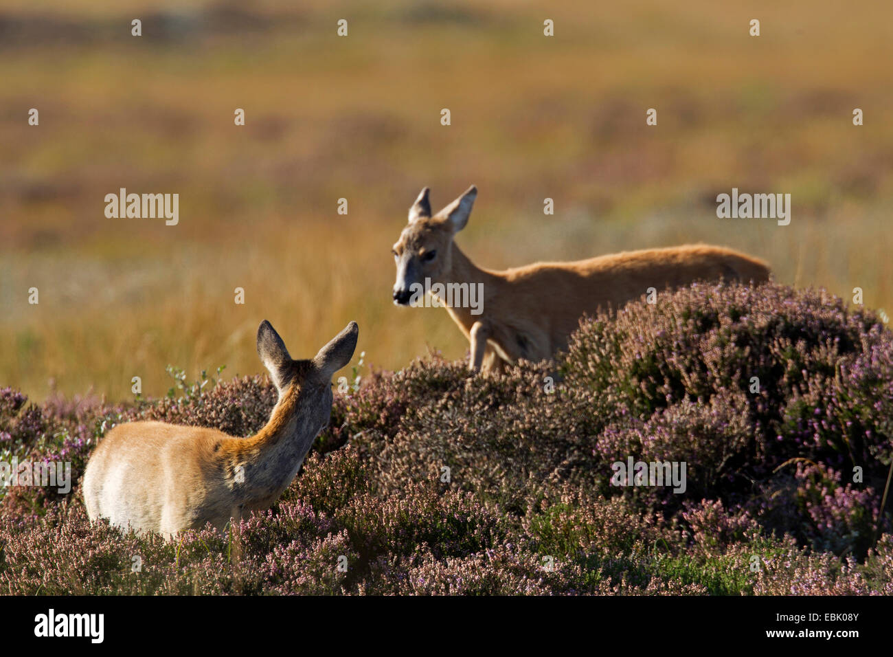 roe deer (Capreolus capreolus), doe and fawn in heathers, Germany, Schleswig-Holstein Stock Photo