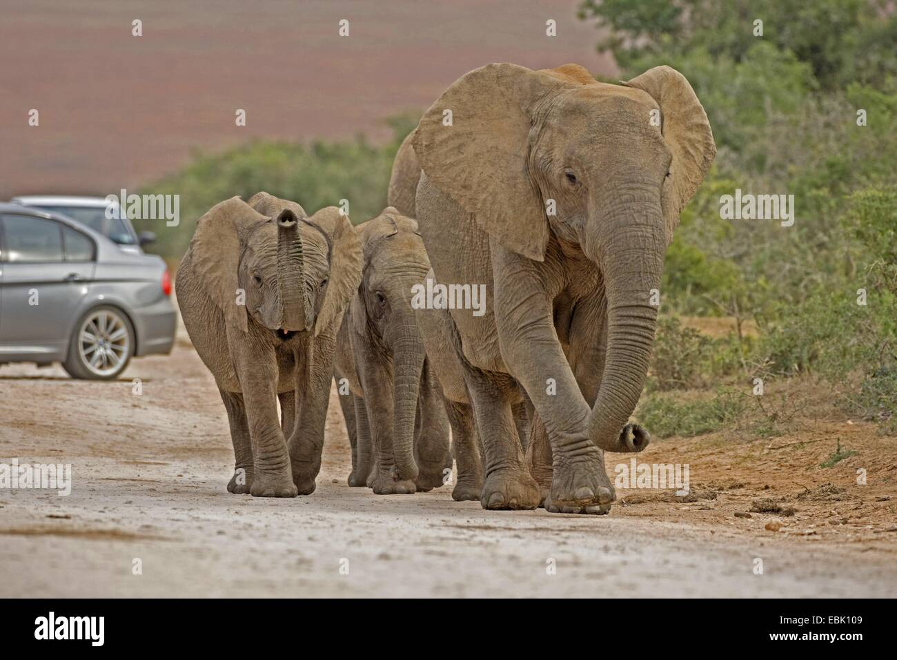 African elephant (Loxodonta africana), family on gravel road with cars, South Africa, Eastern Cape, Addo Elephant - Stock Image