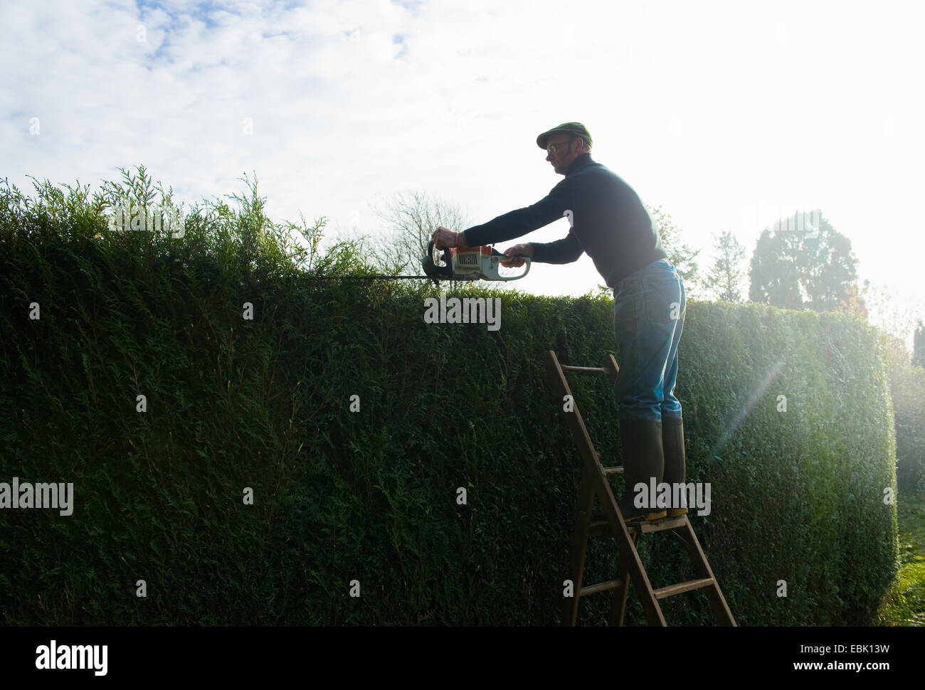 Silhouetted man on top of ladders trimming tall garden hedge - Stock Image