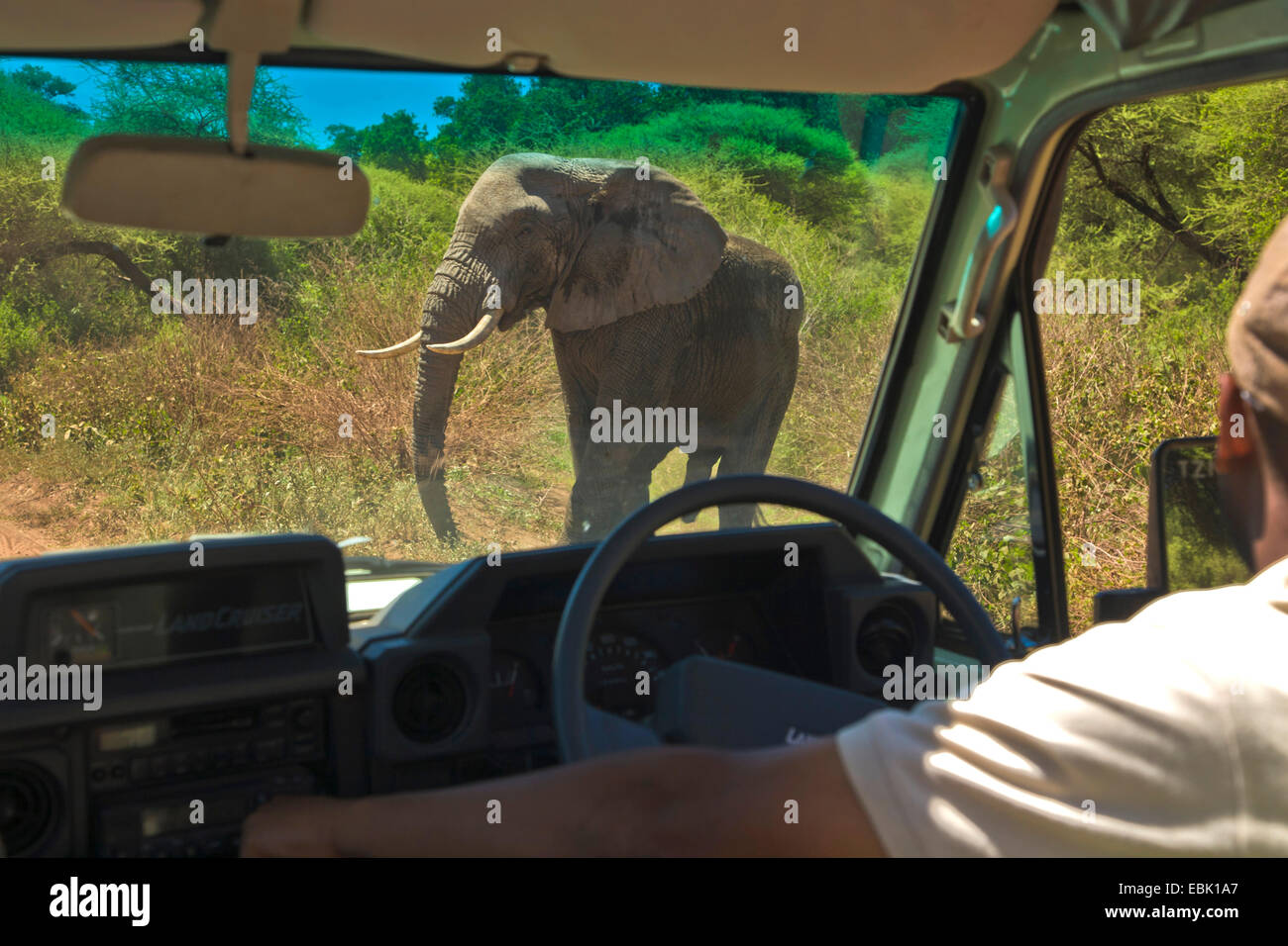 African elephant (Loxodonta africana), male elephant crossing the road in front of a car, Tanzania, Lake Manyara - Stock Image