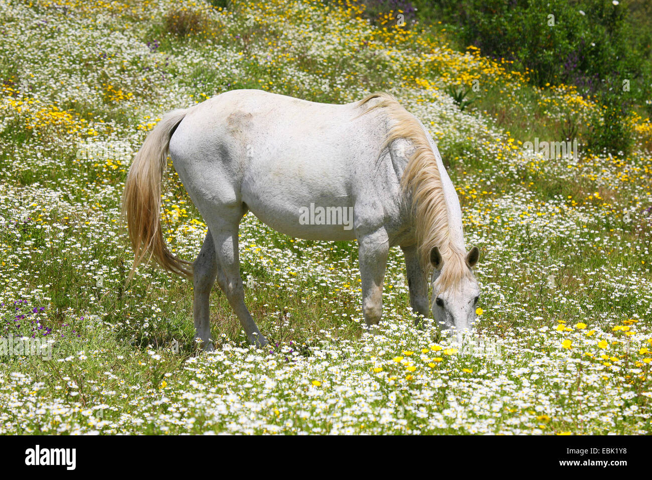 Lusitanian horse (Equus przewalskii f. caballus), white horse browsing in a flower meadow, Portugal - Stock Image