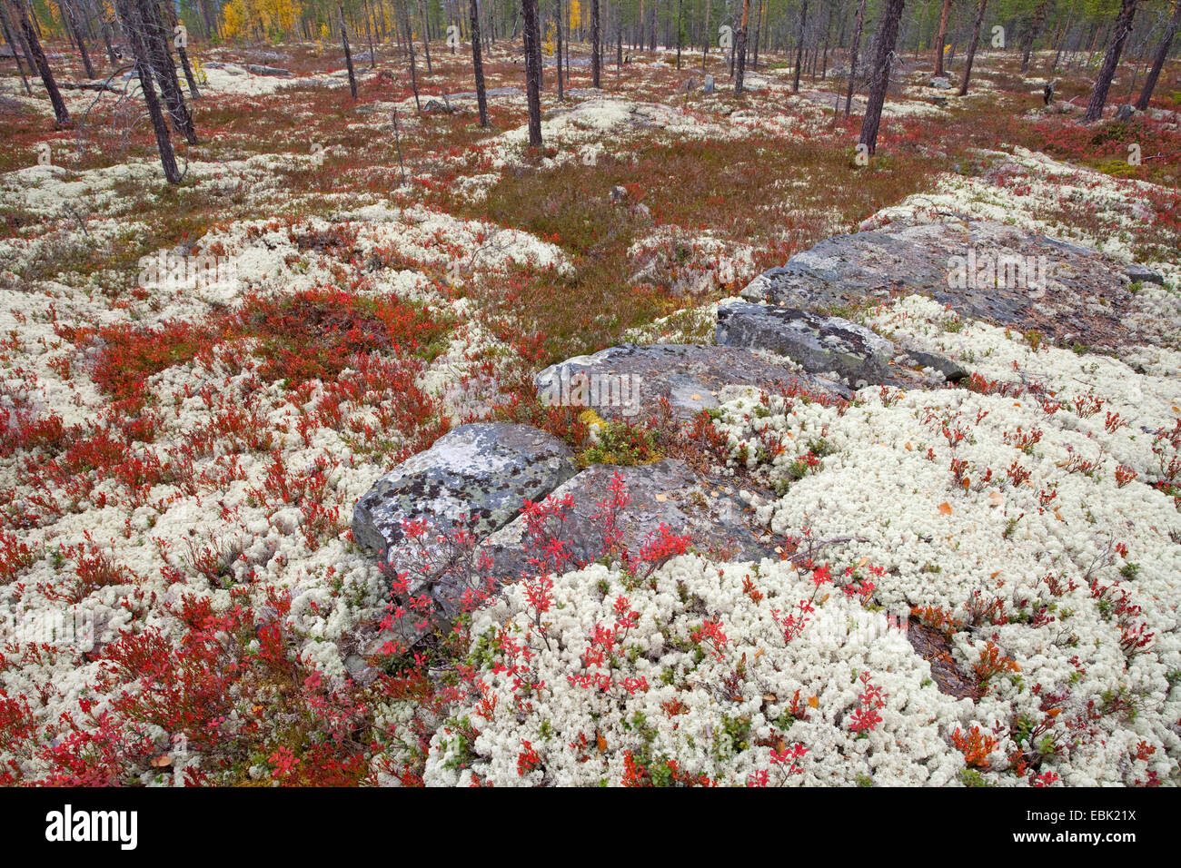 lichens autumnal boreal forest, Norway, Rondane National Park - Stock Image