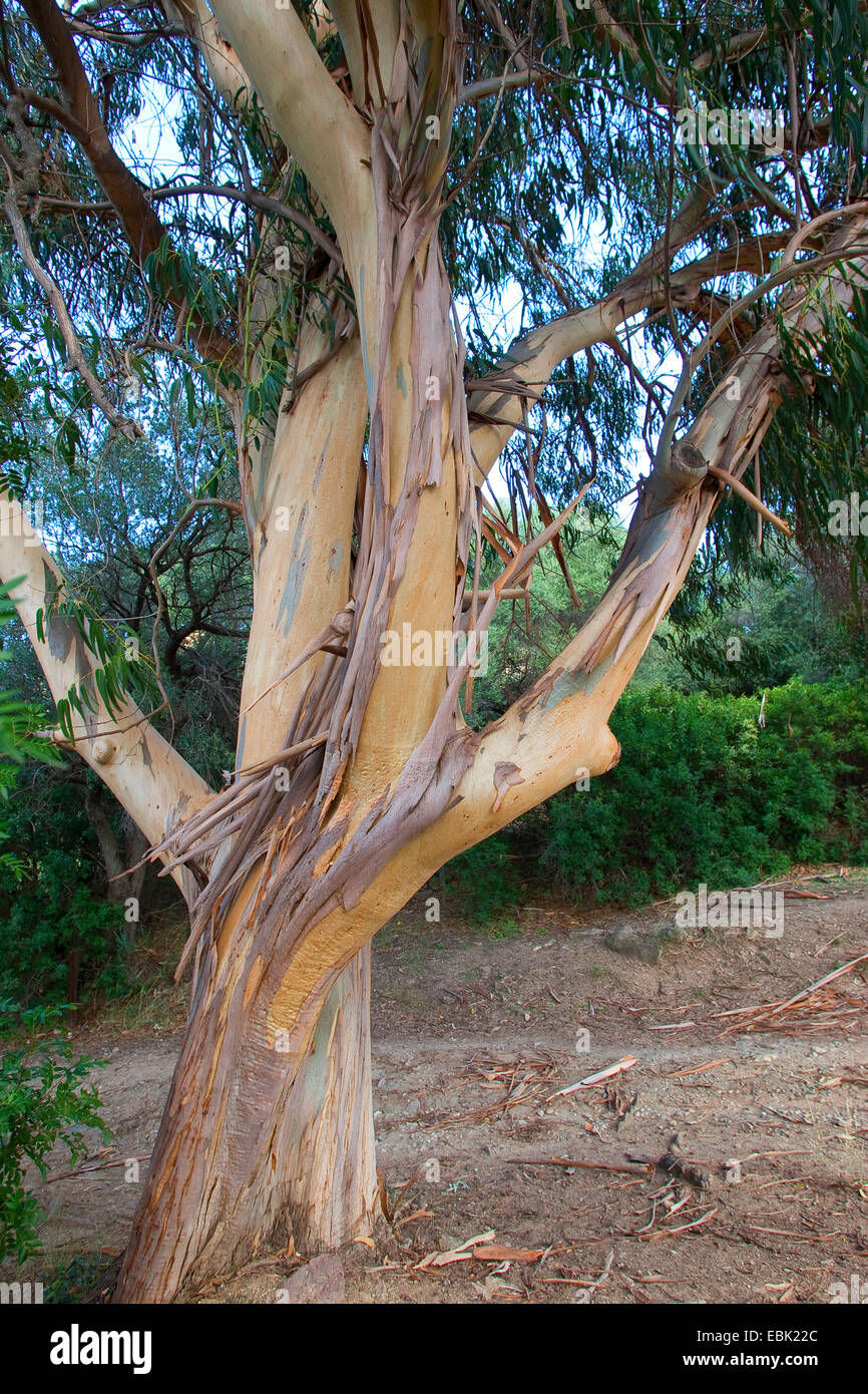 Tasmanian blue gum, Blue gum, Southern Blue Gum (Eucalyptus globulus), trunk - Stock Image