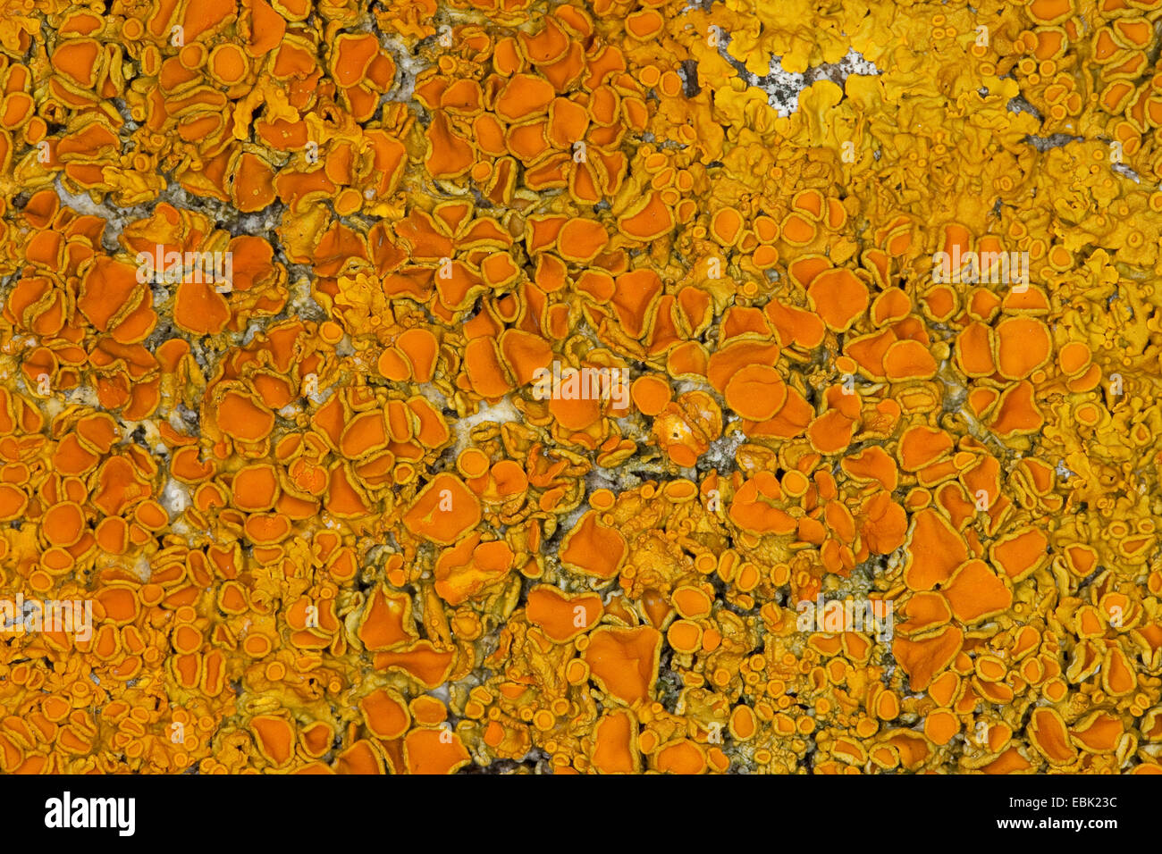 Common orange lichen, Yellow scale, Maritime sunburst lichen, Shore lichen, Golden shield lichen (Xanthoria parietina, - Stock Image